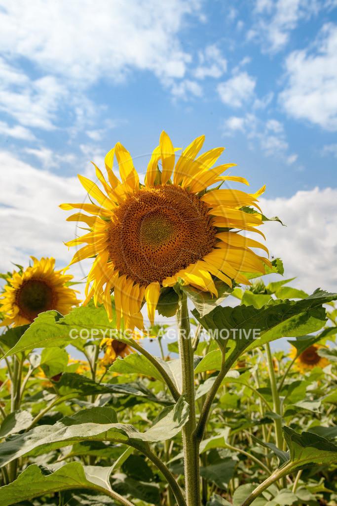 20090711-IMG_3784 | blühende Sonnenblumen im Sommer - AGRARMOTIVE Bilder aus der Landwirtschaft