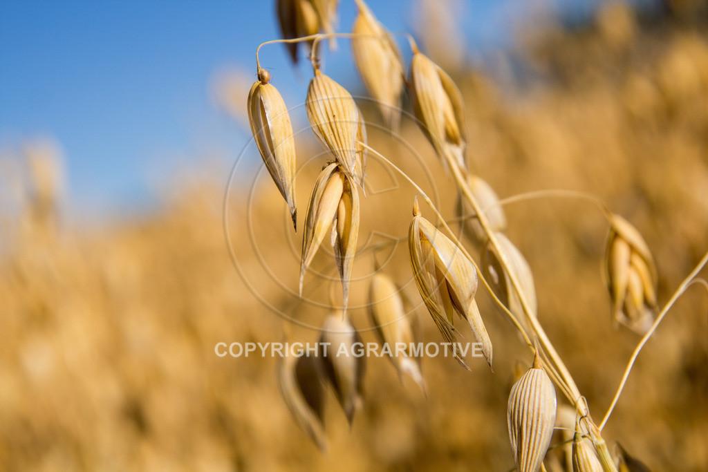 20130801-_MG_8399 | reife Haferpflanzen - AGRARMOTIVE Bilder aus der Landwirtschaft