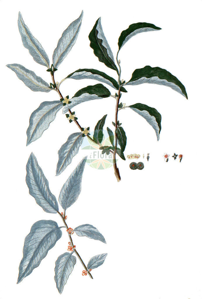 Diospyros lotus | Historische Abbildung von Diospyros lotus. Das Bild zeigt Blatt, Bluete, Frucht und Same. ---- Historical Drawing of Diospyros lotus.The image is showing leaf, flower, fruit and seed.