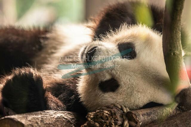 Tiere, Panda | Panda
