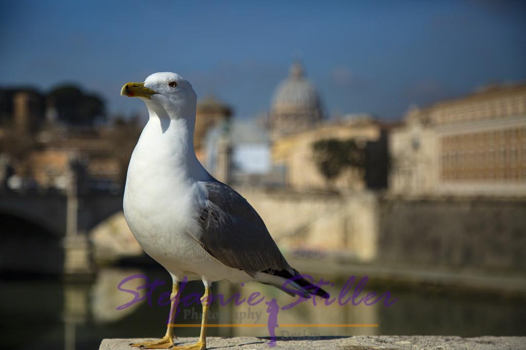 Möwe vor Petersdom in Rom