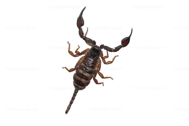 Skorpion über weissem Hintergrund  | Ein freigestellter Skorpion über einem weißen Hintergrund
