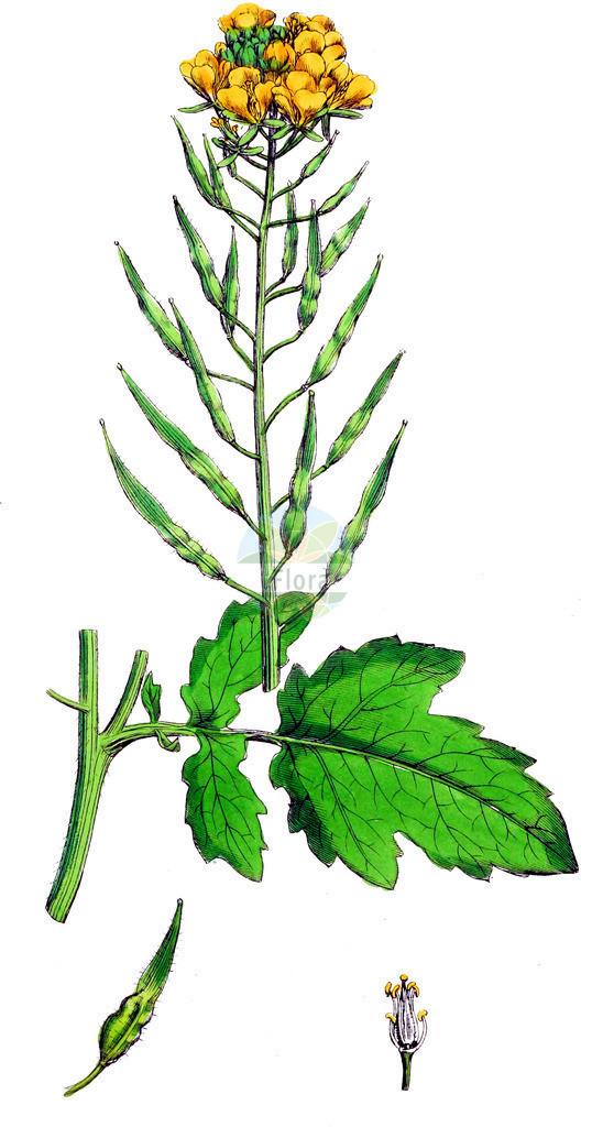Sinapis alba (Gelber Senf - White Mustard)   Historische Abbildung von Sinapis alba (Gelber Senf - White Mustard). Das Bild zeigt Blatt, Bluete, Frucht und Same. ---- Historical Drawing of Sinapis alba (Gelber Senf - White Mustard).The image is showing leaf, flower, fruit and seed.