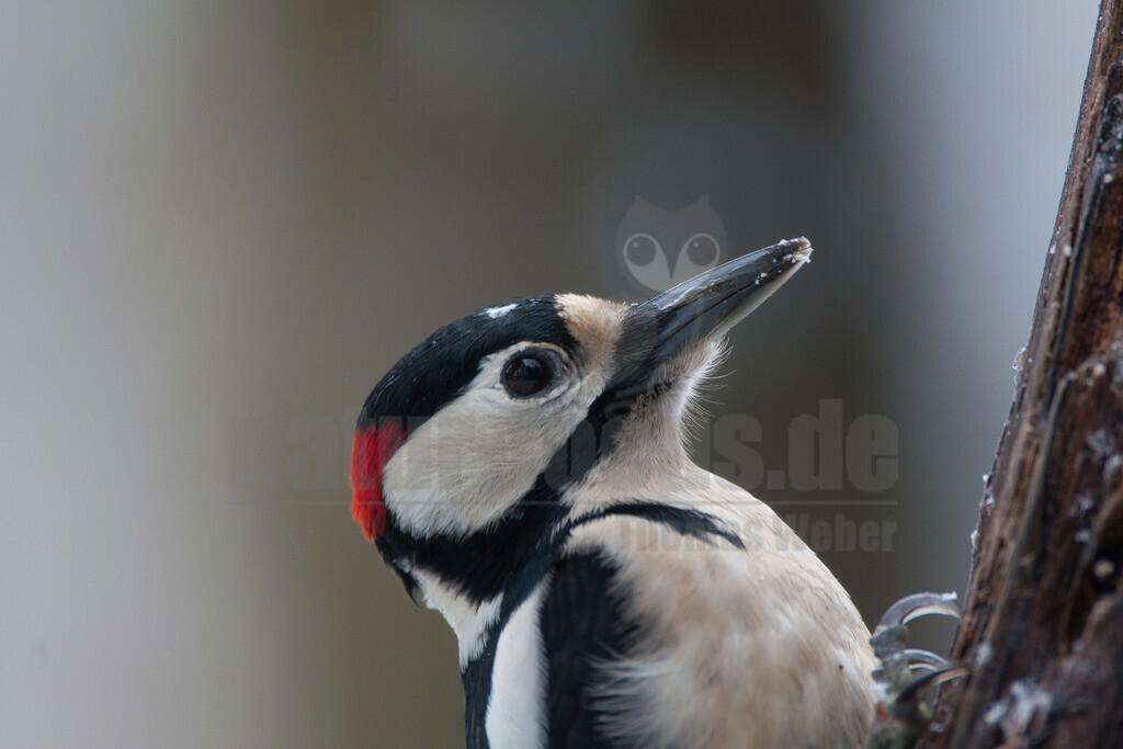 20080202_12320313967 | Unter den Spechten ist der amselgroße Buntspecht der häufigste in Deutschland. Sein schwarz-weiß-rotes Gefieder macht ihn zu einer auffälligen Erscheinung – wenn er nicht gerade versucht, sich auf der Rückseite eines Stammes unseren Blicken zu entziehen.