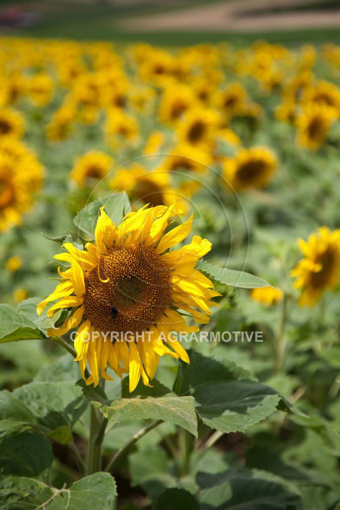 20090711-IMG_3673 | blühende Sonnenblumen im Sommer - AGRARMOTIVE Bilder aus der Landwirtschaft