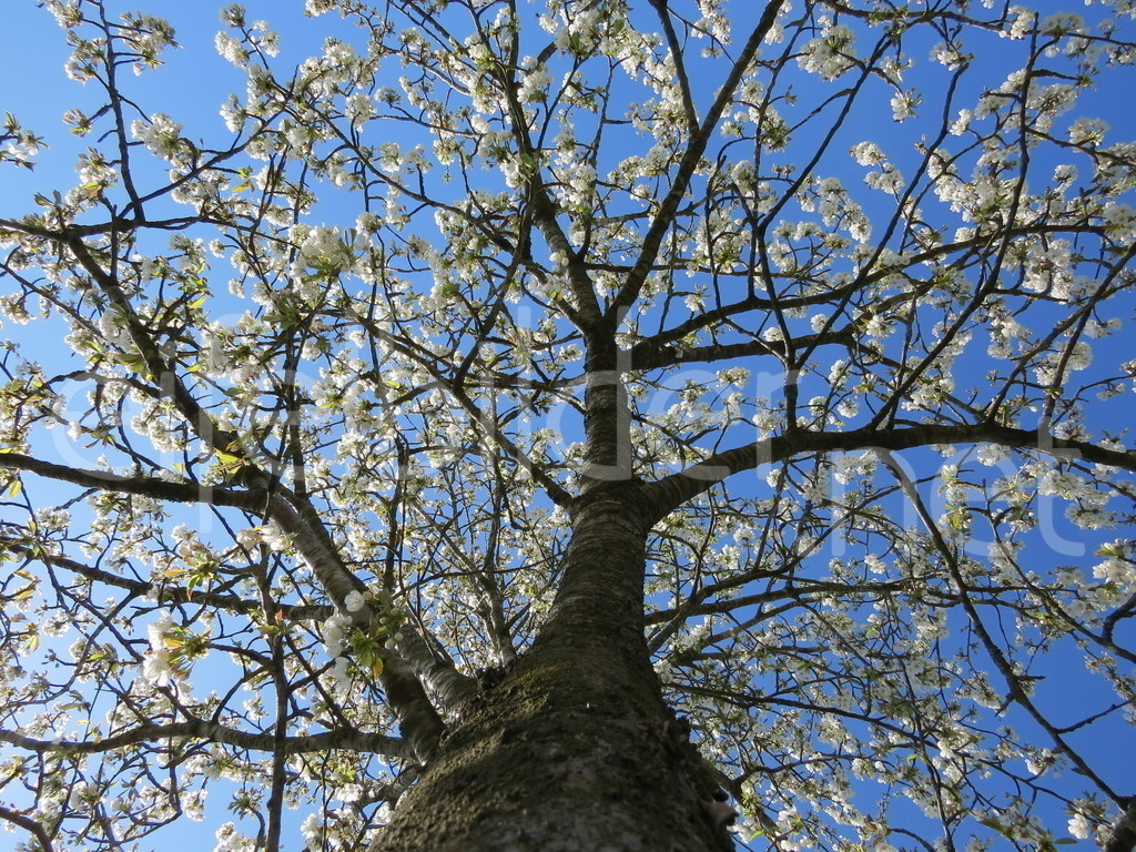 Frühlingsblüten | Blick in die Baumkrone, fotografiert am Immerather Maar in der Vulkaneifel
