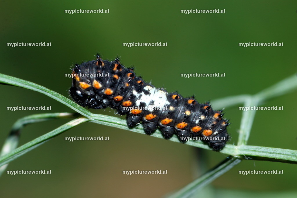 Papilio machaon-021