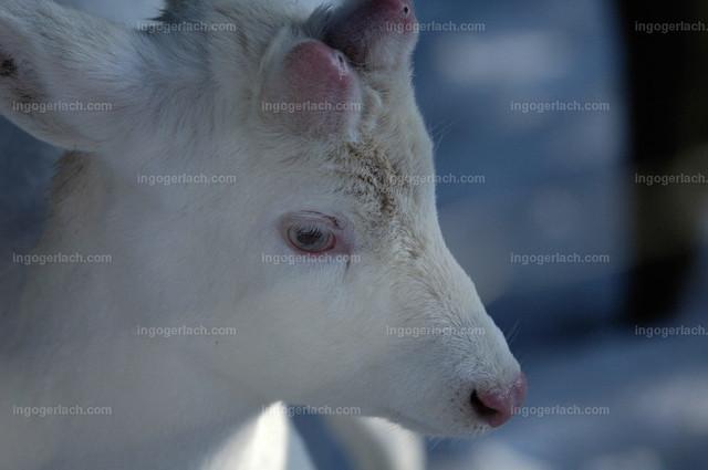 Rehbock_Albino_IGB8842