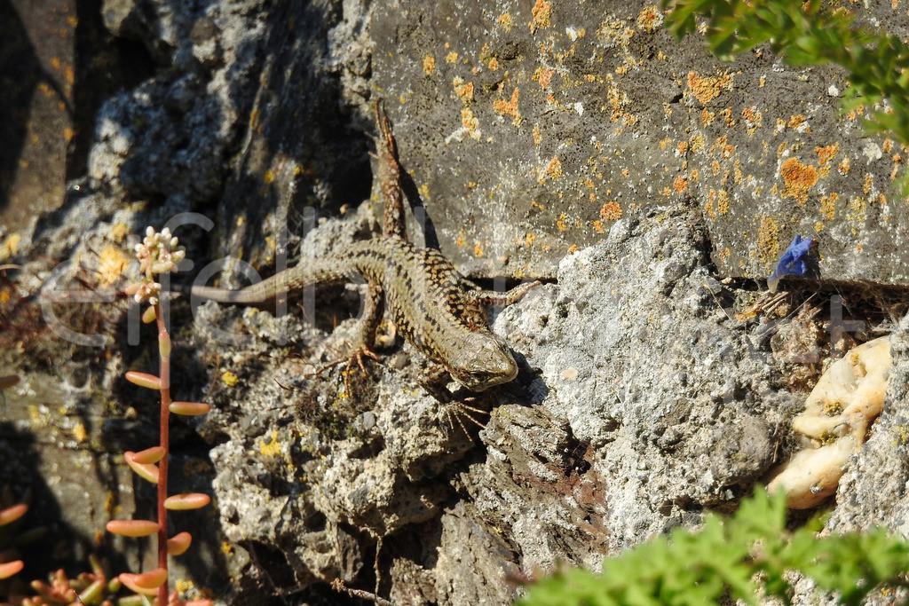 Eidechse   Mauereidechse, fotografiert in der Vulkaneifel