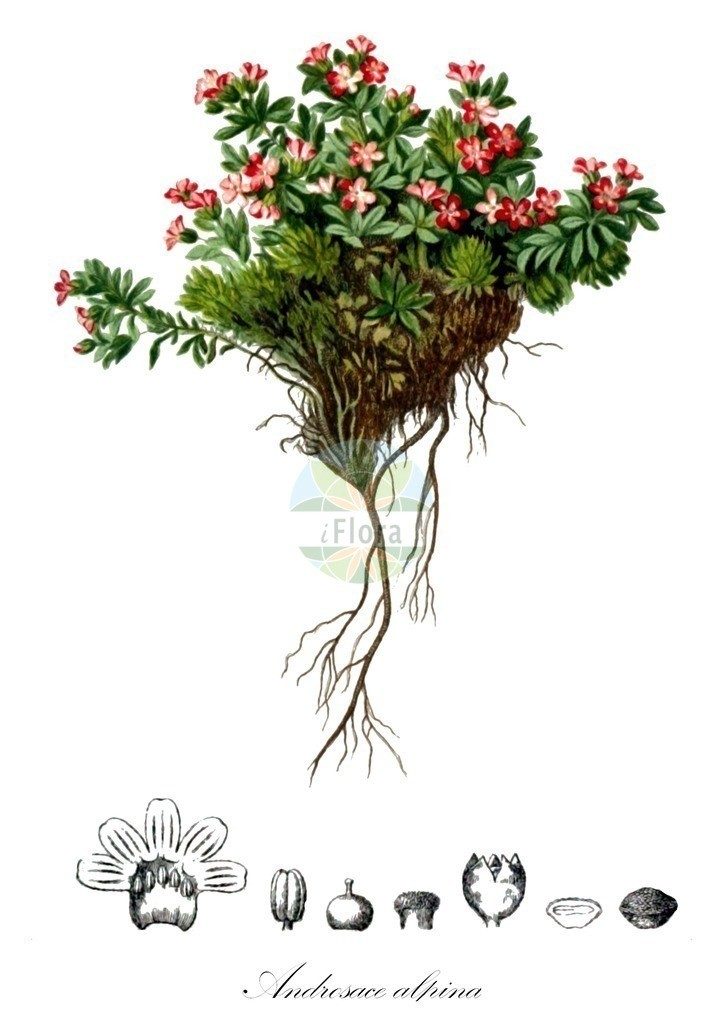 Historical drawing of Androsace alpina (Androsace)   Historical drawing of Androsace alpina (Androsace) showing leaf, flower, fruit, seed