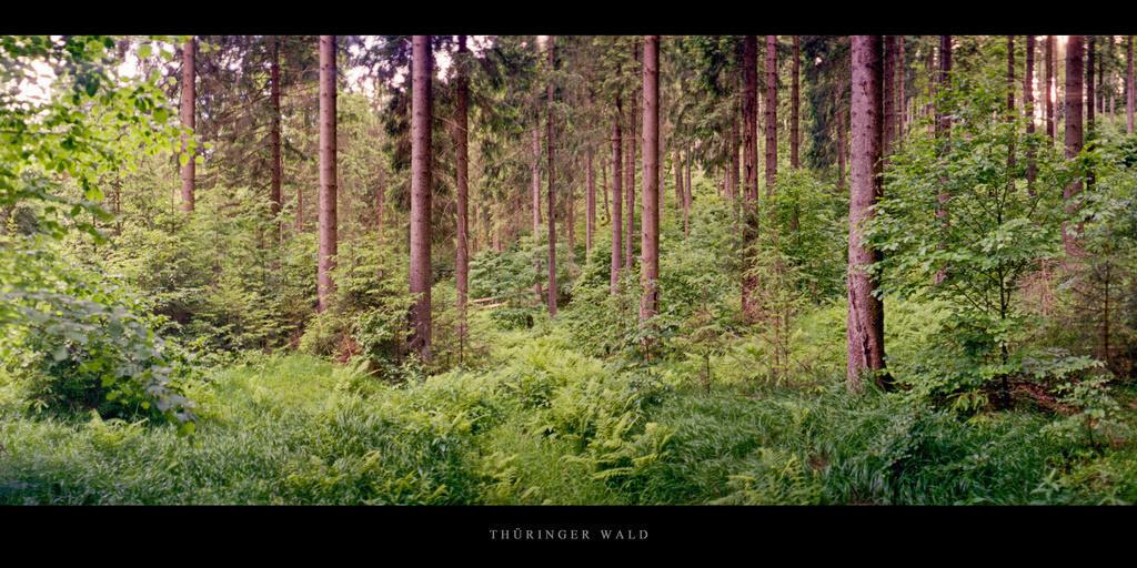 Thüringer Wald | Alter Fichtenwald im Thüringer Wald