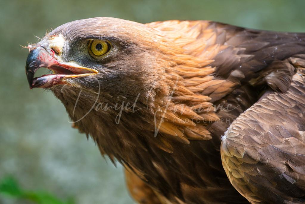 Adler | Adler im Alpenzoo Innsbruck