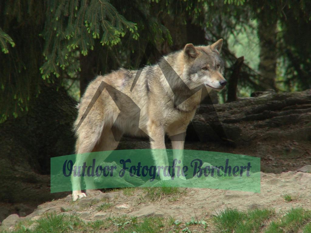 FIL4670 | Wolf, Bayerwald Tierpark Lohberg