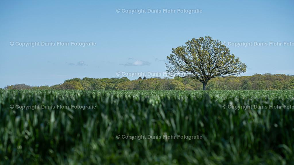 Holsteiner Eiche | Frühling. Eine Eiche steht einsam auf dem Feld
