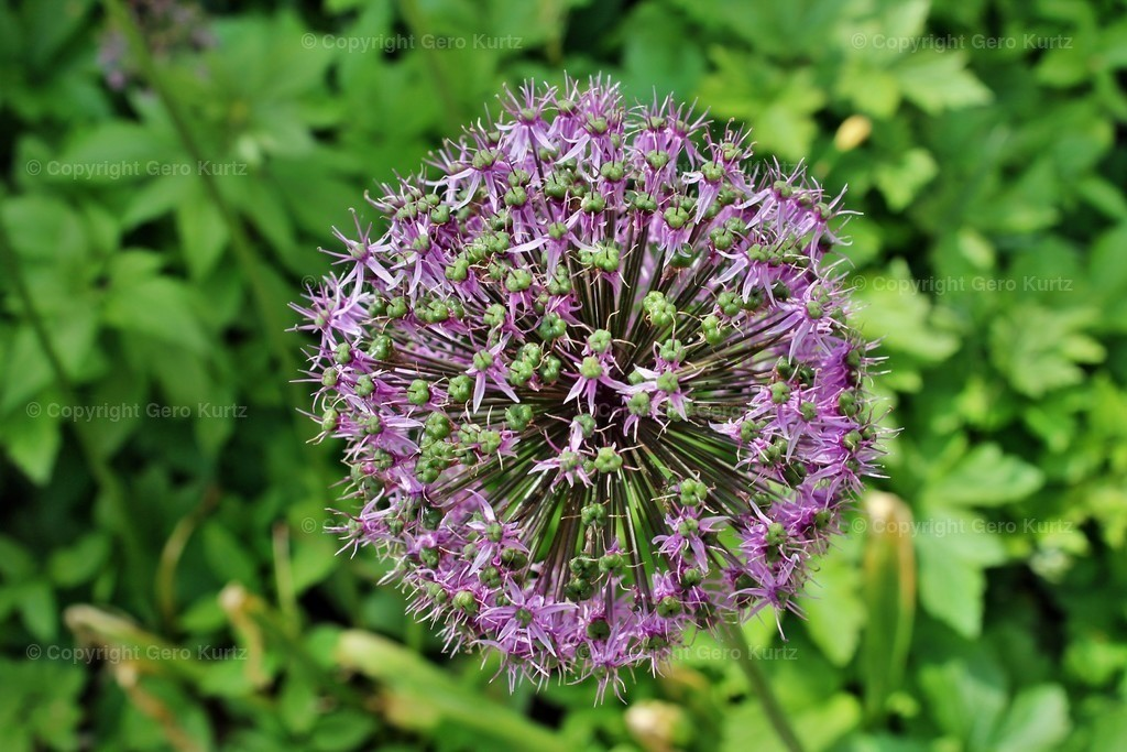 closeup of a Allium flower - Zierlauch Allium