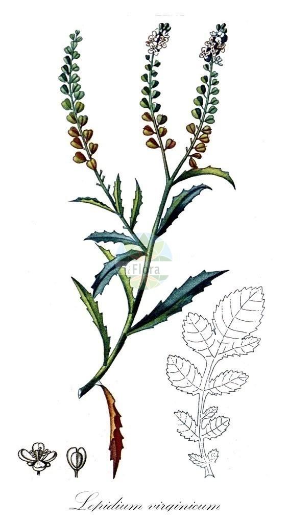 Historical drawing of Lepidium virginicum (Least Pepperwort) | Historical drawing of Lepidium virginicum (Least Pepperwort) showing leaf, flower, fruit, seed