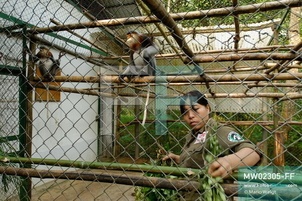 MW02305-FF   Vietnam   Provinz Ninh Binh   Reportage: Endangered Primate Rescue Center   Tierpflegerin verteilt im Käfig Futter für die Rotgeschenkligen Kleideraffen. Sie erhalten dreimal pro Tag eine Blätterration. Der Deutsche Tilo Nadler leitet das Rettungszentrum für gefährdete Primaten im Cuc-Phuong-Nationalpark.   ** Feindaten bitte anfragen bei Mario Weigt Photography, info@asia-stories.com **