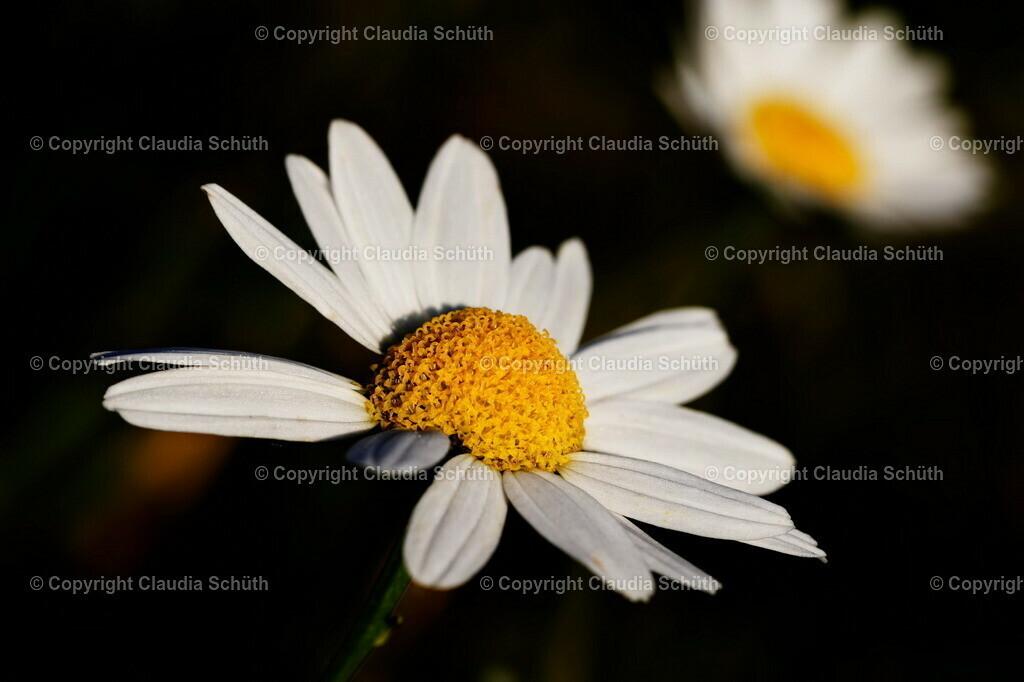 Echte Kamille Blüte Matricaria chamomilla L. | Echte Kamille Blüte in der Abendsonne.