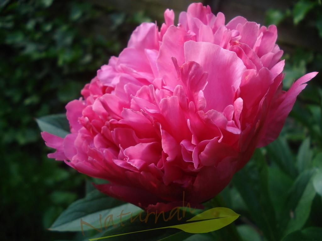 Zeitlos schön | Christrosenblüte
