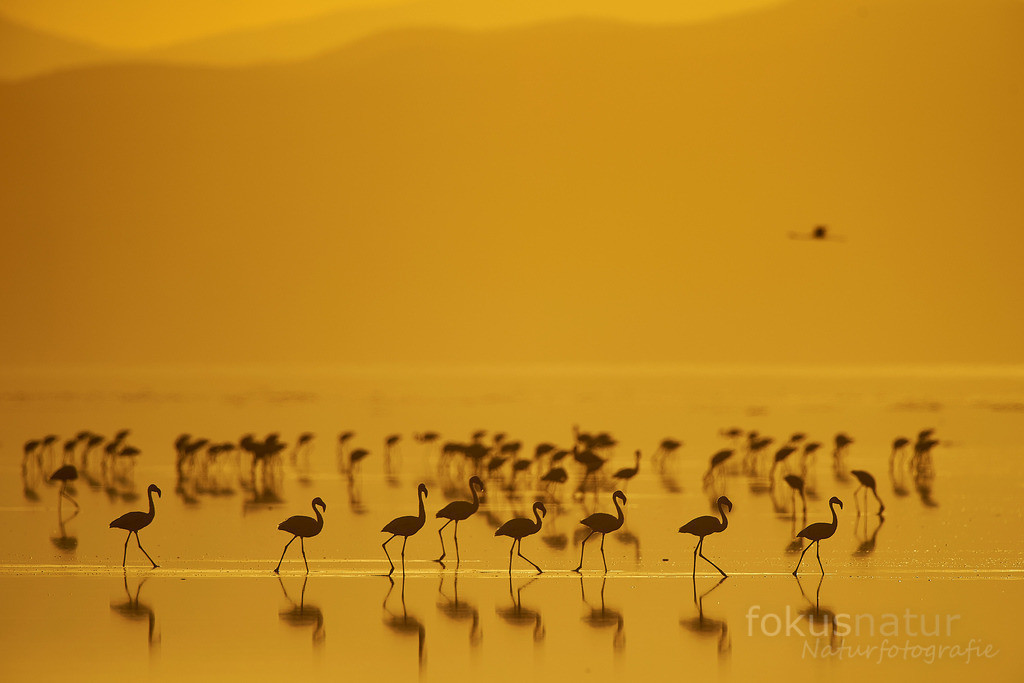 Sonnenaufgang mit Flamingos | Zu Sonnenaufgang kommen die Flamingos zu ihren Nahrungsgründen.