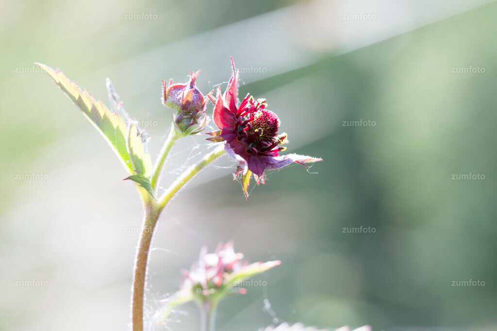 130605_1224-0812-A | Das Sumpf-Blutauge ist eine Pflanzenart aus der Gattung der Fingerkräuter in der Familie der Rosengewächse. Es ist zirkumpolar verbreitet und besiedelt Flach- und Zwischenmoore.