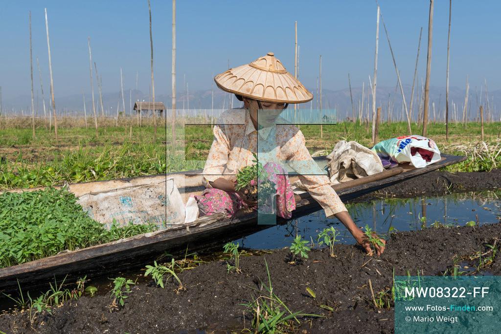 MW08322-FF | Myanmar | Inle-See | Nyaungshwe | Reportage: Ye Lin lebt auf dem Inle-See | In den schwimmenden Gärten auf dem Inle-See wird hauptsächlich Gemüse angebaut. Frau steckt junge Tomatenpflanzen. Der 8-jährige Ye Lin Yar Zar lebt mit seinen Eltern in einem Pfahlhaus auf dem Inle-See. Er gehört zur ethnischen Gruppe der Intha und beherrscht die einzigartige Einbeinrudertechnik, um zur Schule zukommen.  ** Feindaten bitte anfragen bei Mario Weigt Photography, info@asia-stories.com **