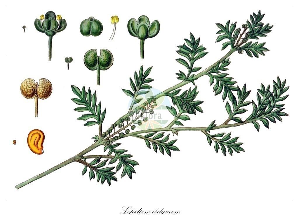 Historical drawing of Lepidium didymum (Lesser Swine-cress)   Historical drawing of Lepidium didymum (Lesser Swine-cress) showing leaf, flower, fruit, seed