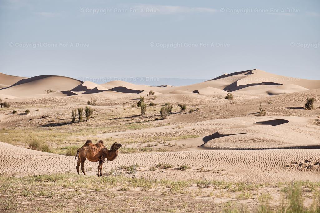 Mongolei | Kamel vor den Dünen des Khongoryn Els in der Wüste Gobi