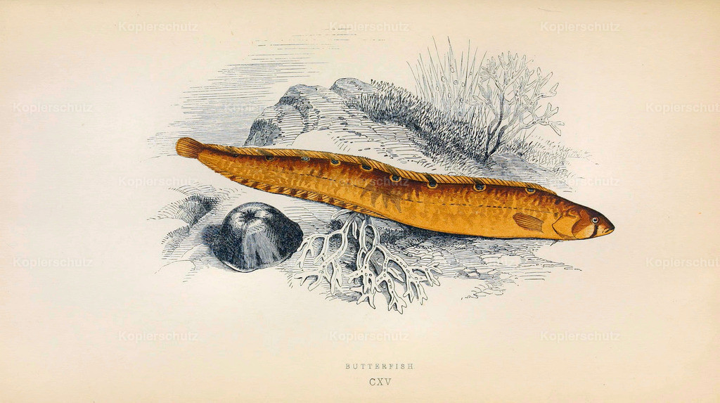 A-History-of-the -Fishes- of- the- British-Islands-Fische-1862-1866 (8)