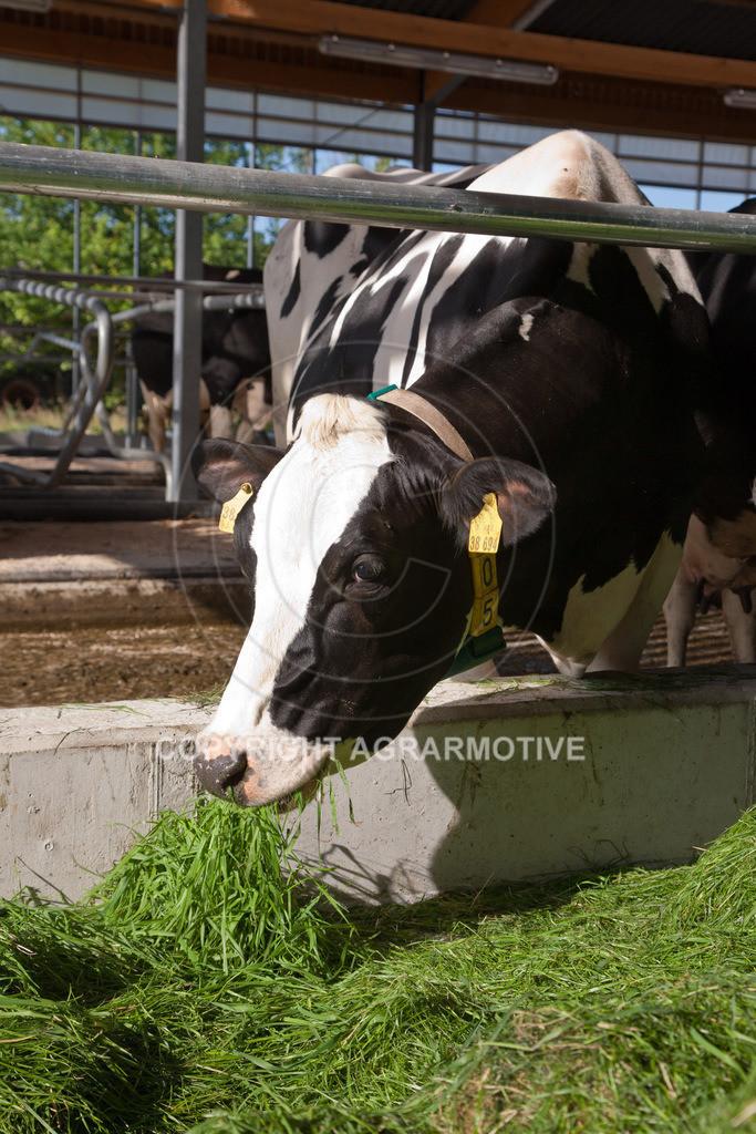 20110627-IMG_2994 | Milchkühe im Boxenlaufstall