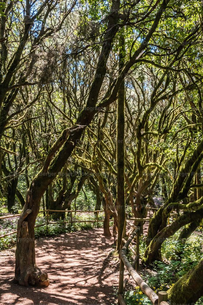 Lorbeeren Wald | Lorbeeren Wald auf La Gomera ( Märchenwald )