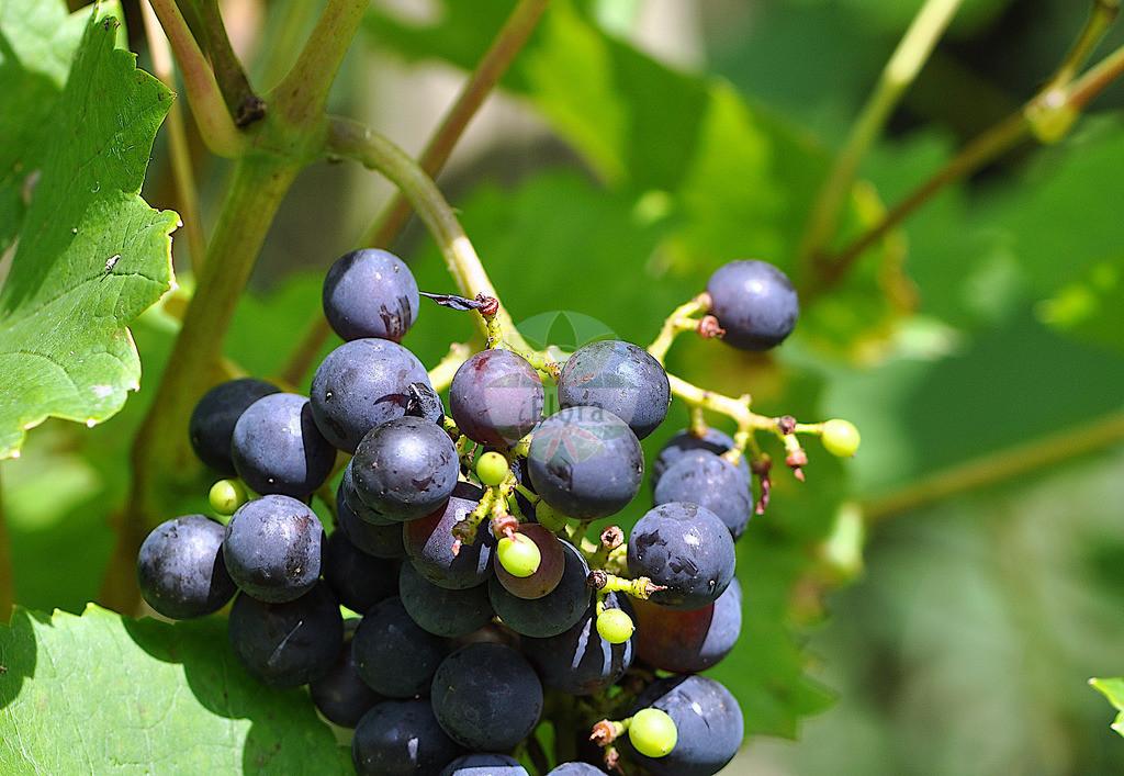Vitis vinifera (Weinrebe - Grape-vine)   Foto von Vitis vinifera (Weinrebe - Grape-vine). Das Foto wurde in aufgenommen. ---- Photo of Vitis vinifera (Weinrebe - Grape-vine).The picture was taken in .