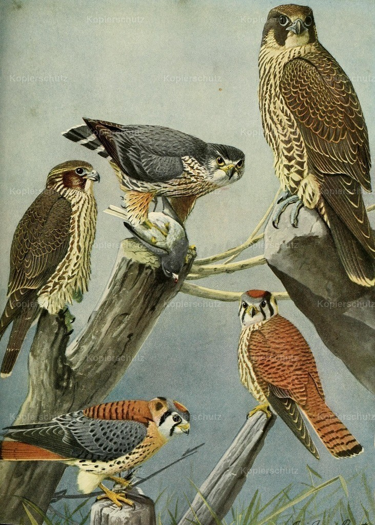 Fuertes_ L.A. (1874-1927) - Birds of Massachusetts 1925 - Pigeon _ Sparrowhawks