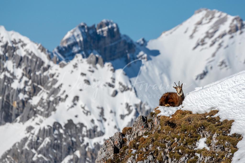 Gams im Karwendel | Wildlife Aufnahme im Hochgebirge des Karwendels