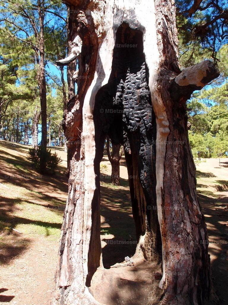 P5085720 | Verkohlter Baumstamm auf El Hierro