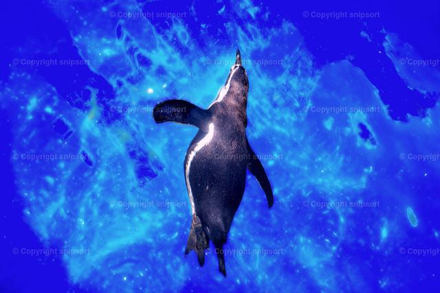 Pinguin im blauem Wasser  | Ein schwimmender Pinguin im kristallblauen Wasser.
