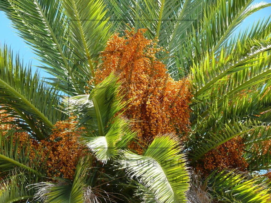 Palme | Blühende Palme