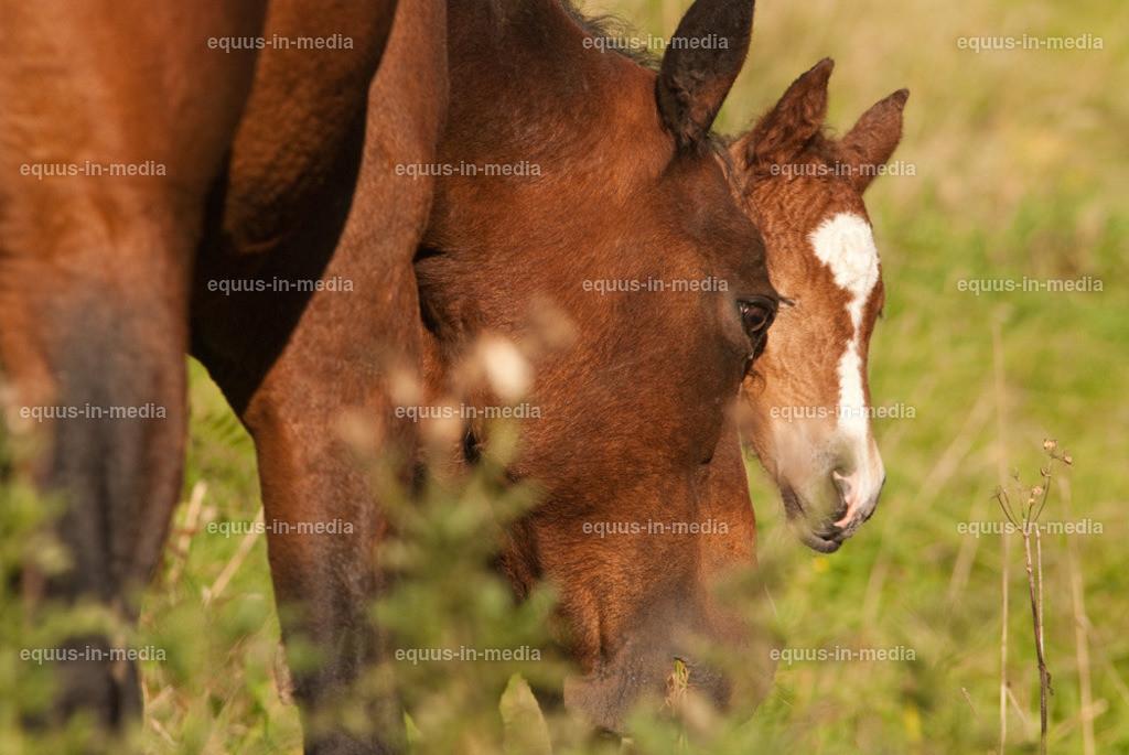 20100922-DSC_3880   Curly Horse Fohlen