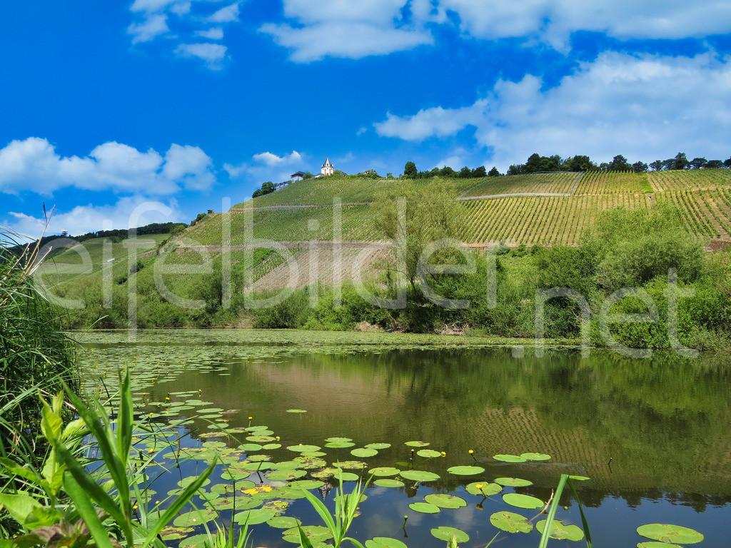 Landschaft an der Mosel   Blick auf die Marienburg, Pünderich