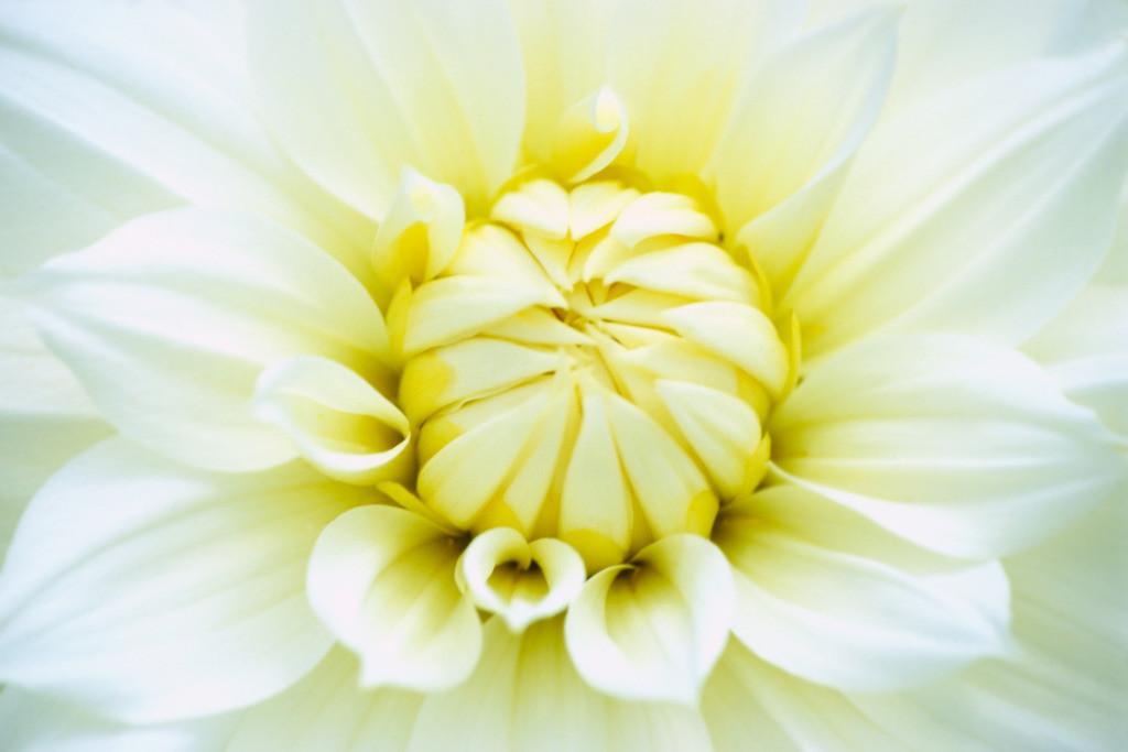 Best. Nr. metall13 | Makroportrait einer weißen Dahlienblüte | Zum Element Metall gehört der Westen, seine Jahreszeit ist der Herbst, seine Farben sind weiß, silber und gold, gerne auch glänzend. Es kommen runde und spiralige Formen in Frage. Metall repräsentiert Klarheit, Ordnung und Distanz und steht mit Erfolg und Reichtum in Verbindung. Daher eignet es sich besonders auch für Geschäftsräumlichkeiten, Büros oder Anwaltskanzleien.