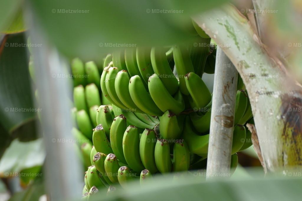 P1000809 | Bananen werden