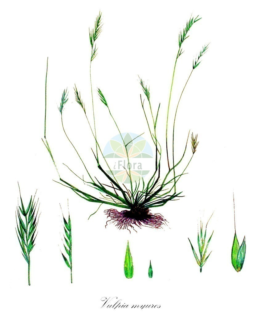 Historical drawing of Vulpia myuros (Rat's-tail Fesc   Historical drawing of Vulpia myuros (Rat's-tail Fescue) showing leaf, flower, fruit, s