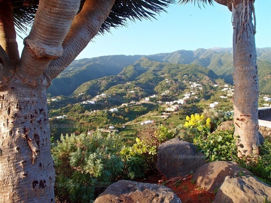PC2868581 | Drachenbäume von San Bartolo im Nordosten von La Palma