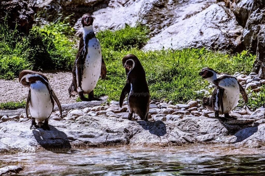 PinguComandante