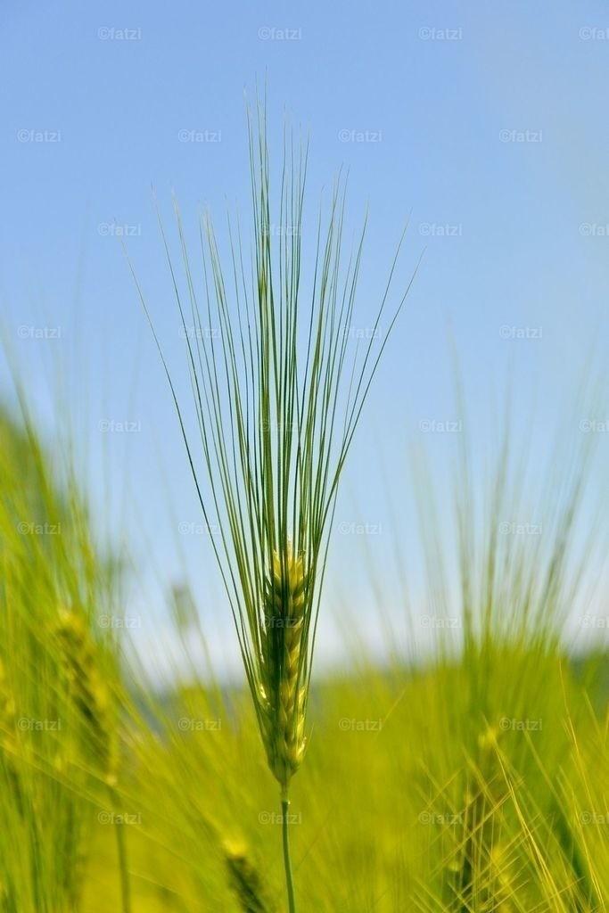 Getreide_5-11_002_1