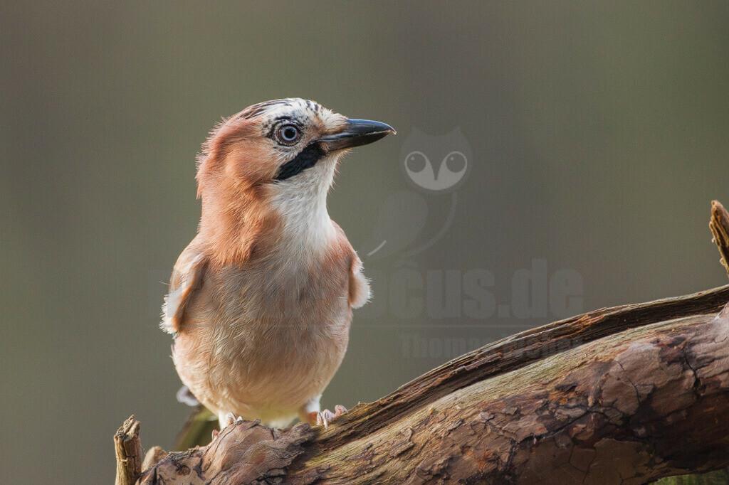 20081207145546 | Der Eichelhäher ist ein Singvogel aus der Familie der Rabenvögel. Er ist über Europa, Teile Nordafrikas und des Nahen Ostens sowie in einem breiten Gürtel durch Asien und dort südwärts bis nach Indochina verbreitet.