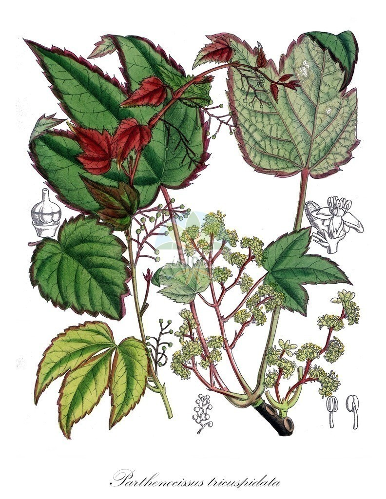 Historical drawing of Parthenocissus tricuspidata (Creeper) | Historical drawing of Parthenocissus tricuspidata (Creeper) showing leaf, flower, fruit, seed