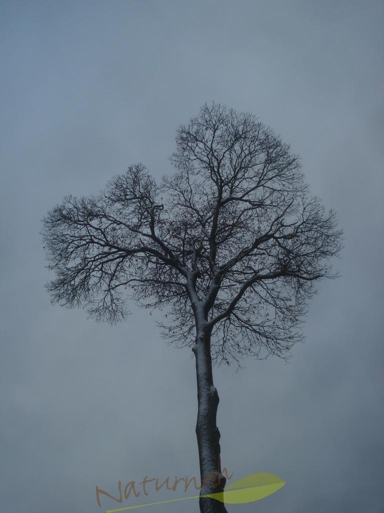 Klosterbaum im Winterzauber