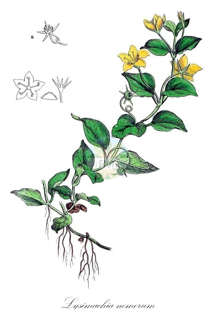Historical drawing of Lysimachia nemorum (Yellow Pimpernel) | Historical drawing of Lysimachia nemorum (Yellow Pimpernel) showing leaf, flower, fruit, seed