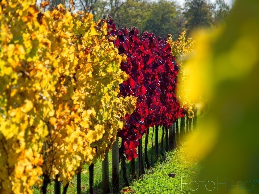 rote herbstliche Rebstöcke | Rot gefärbete Rebstöcke umgeben von goldgelb herbstlich gefärbten Weinstöcken